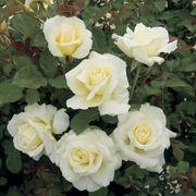 White Licorice™ 24-Inch Patio Tree Rose