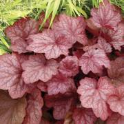 Heuchera Georgia Peach