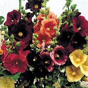 Old Barnyard Hollyhock Mix