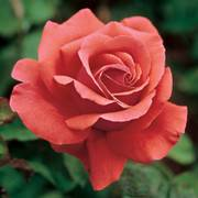 Fragrant Cloud Hybrid Tea Rose