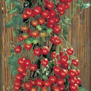 Supersweet 100 Tomato Plants (pack of 3)