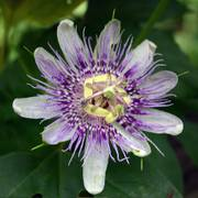 Maypop Passionflower Plant