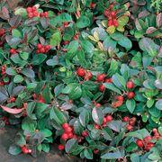 Creeping Wintergreen