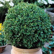 Buxus Green Velvet Boxwood