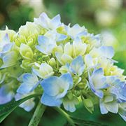 Hydrangea The Original Endless Summer®