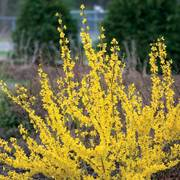 Show Off® Forsythia