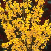 Show Off™ Forsythia