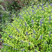 Lil Miss Sunshine™ Blue Mist Shrub