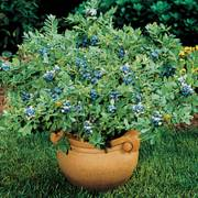 'Sunshine Blue' Dwarf Blueberry