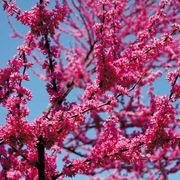 Appalachian Red Cercis canadensis Redbud Tree