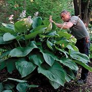 Empress Wu Hosta
