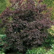 Cotinus 'Royal Purple'