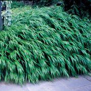 Hakonechloa macra Japanese Forest Grass Plant Thumb