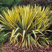 Yucca 'Color Guard' Thumb