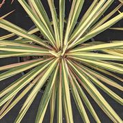 Yucca 'Color Guard' Alternate Image 1
