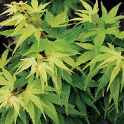 Mikawa Yatsubusa Japanese Maple