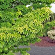 Mikawa Yatsubusa Japanese Maple