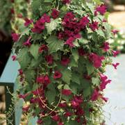 Creeping Gloxinia Lofos™ Wine Red (pack of 3)