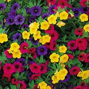 Gold and Bold Minifamous Calibrachoa Annual Plant Collection