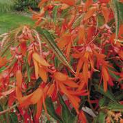 Begonia Bonfire (pack of 3)