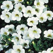 Calibrachoa MiniFamous™ Perfect White