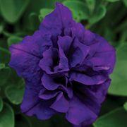 Petunia Double Wave® Blue Velvet PP#17,675