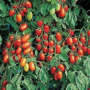 Juliet Grafted Tomato Plant