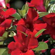 Sun Parasol® Giant Crimson Mandevilla (pack of 3)