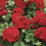 Calliope Dark Red Geranium (pack of 3)