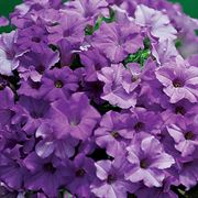 Surfinia Heavenly Blue Petunia (pack of 3)