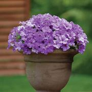 Petunia Surfinia® Heavenly Blue (pack of 3)