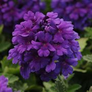 Dark Purple EnduraScape Verbena (pack of 6)