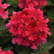 Hot Pink EnduraScape Verbena (pack of 6)