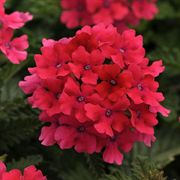 Hot Pink EnduraScape Verbena (pack of 6)