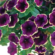 Petunia Surprise Moonlight Bay