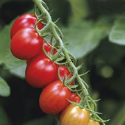 Sugar Rush Hybrid Tomato Plants (pack of 3)