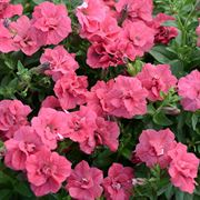 Summer Double Salmon Surfinia Petunia (pack of 3)
