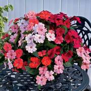 SunPatiens® Kissing Cousins Combination (pack of 3)