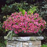 Can-Can® Bumble Bee Pink Calibrachoa (pack of 3)
