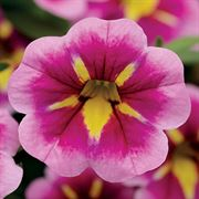 Calibrachoa Can-Can® Bumble Bee Pink (Pack of 3)