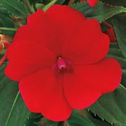 SunPatiens® Compact Red Impatiens