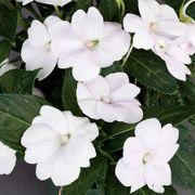 SunPatiens® Compact White