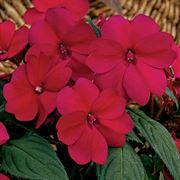 SunPatiens® Compact Royal Magenta (Pack of 3)
