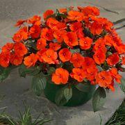 Sunpatiens® Compact Hot Coral