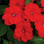 SunPatiens® Vigorous Red