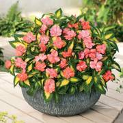 SunPatiens® Vigorous Variegated Salmon