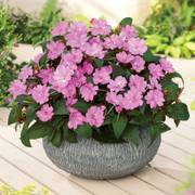 SunPatiens® Vigorous Lavender (pack of 3)