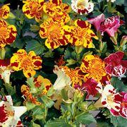 Mimulus Magic Blotch Mix Plants
