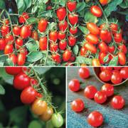 Cherry Tomato Assortment (pack of 3)