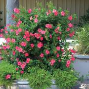 Dipladenia Mandinia™ Coral Pink